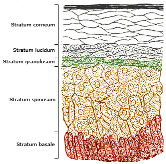 epidermal layers diagram